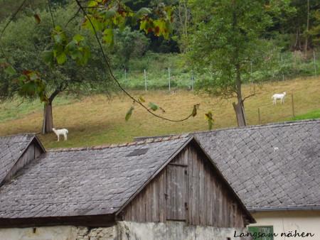Zwei weiße Ziegen